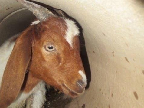 Baby goat rescued from irrigation pipe in two-day operation